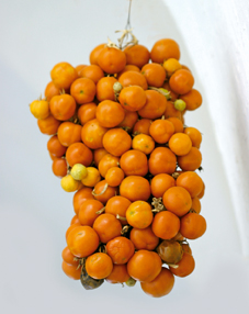 pomodori pendula